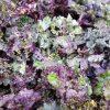BIO-Flower sprouts (paarse spruit)
