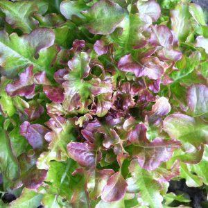 Bio-Eikenbladsla (groen)