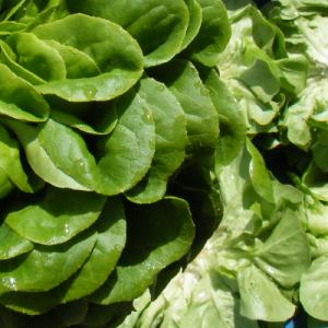 Sla, salanova (groen)